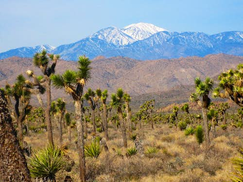 Mt. San Gorgonio (11,500\') from Joshua Tree