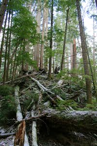 Olympic Old Growth