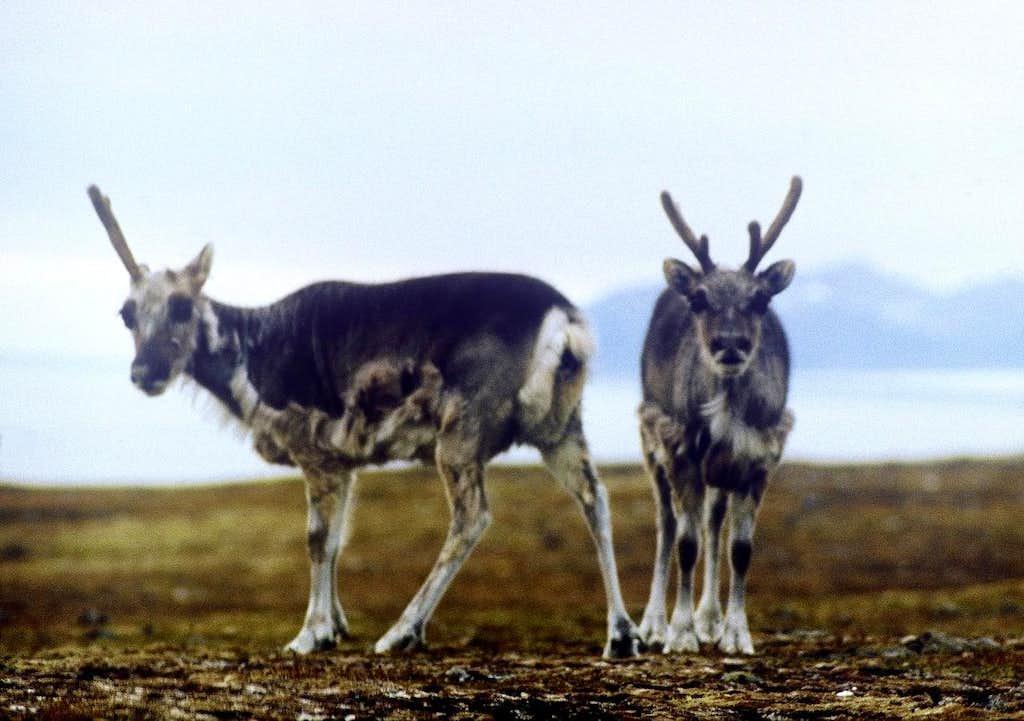 Poor Reindeer