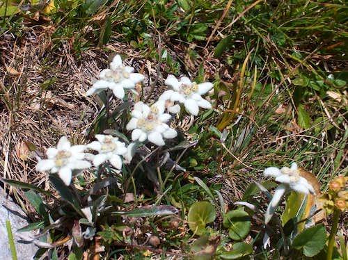 Lots of Slovenian Edelweiss (