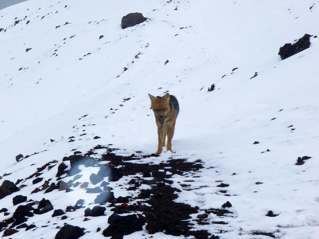 alpine fox