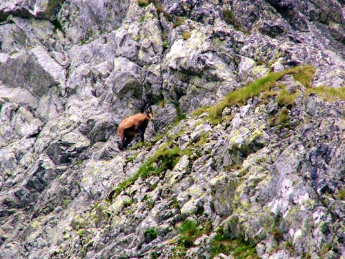 Chamois in couloir