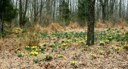 Daffodils in Hoover National Forest
