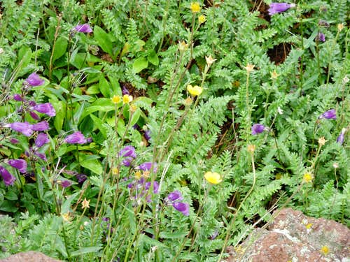 Wildflowers On Humphreys Peak