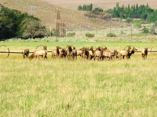 Herd of elk...