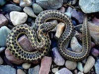 Diamondback Rattle Snake