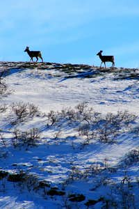 Deer on the ridge below Mt. Van Cott.