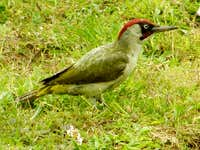 Green Woodpecker - Lower Rainham
