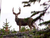 3 point Mule Deer