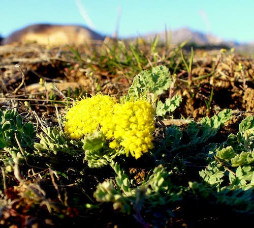 Spring-Parsley - the 1st spring flower of the Wasatch