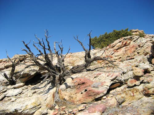 Dead tree on Sykes Mountain
