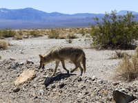 Coyote Action 2