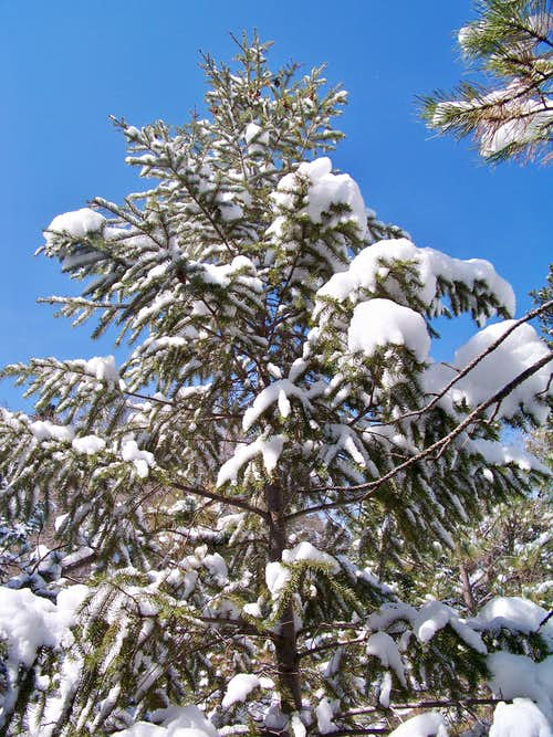 Snow-frosted tree - Chautauqua Mountain