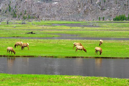elk grazing near Madison River