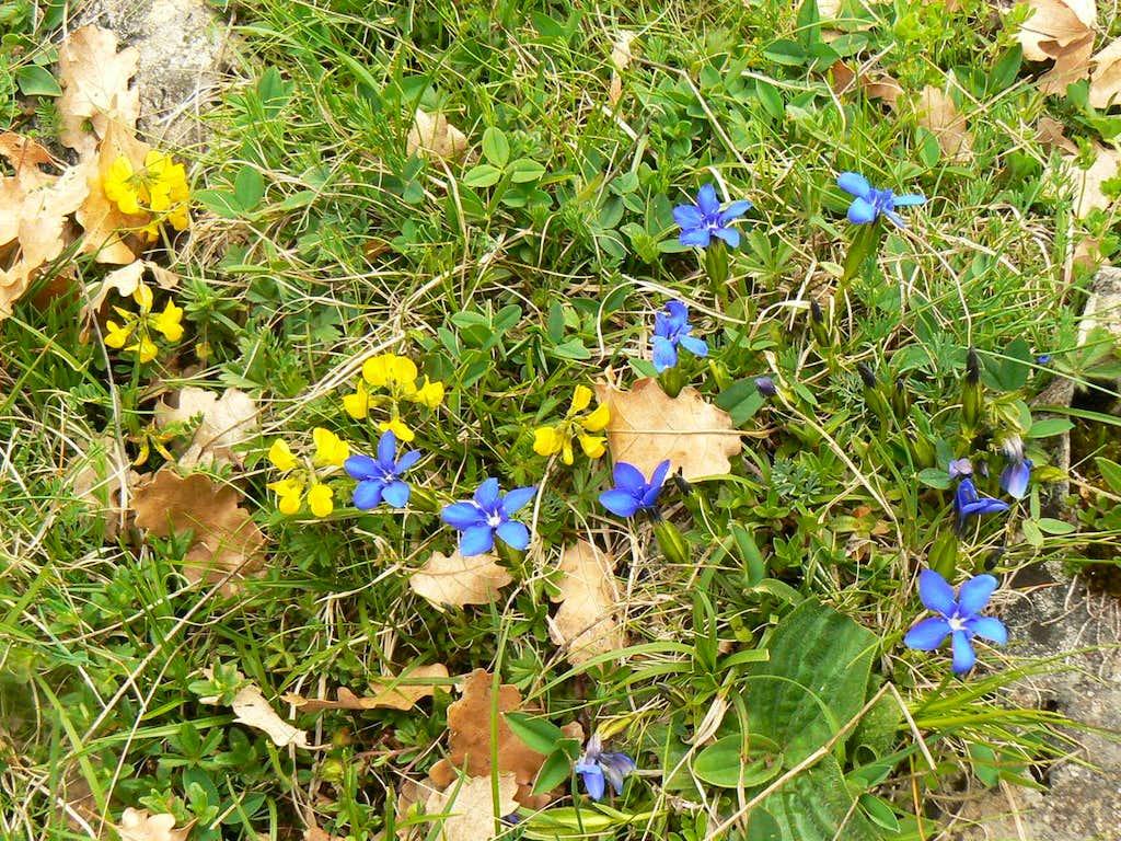 Flowers of the Pyrénées