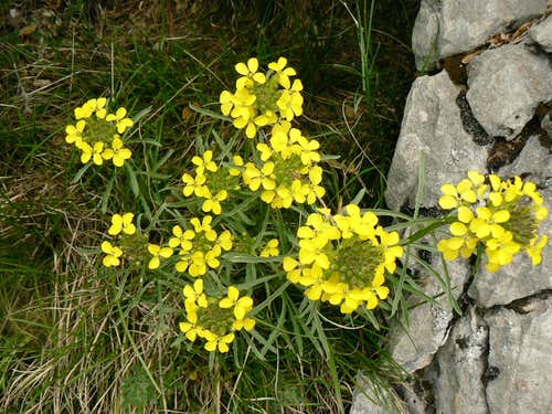 Decumbent Treacle-Mustard, pyrenees, (Erysimum decumbens)