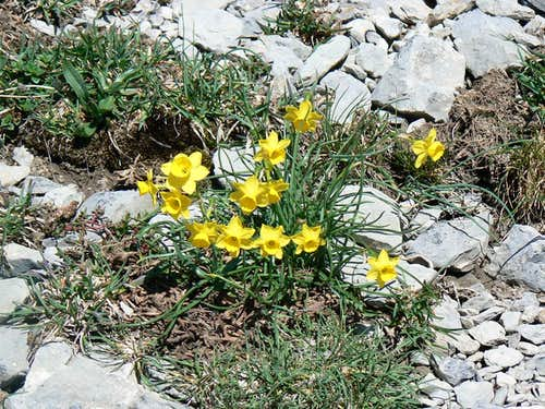 Daffodils in the Pyrénées