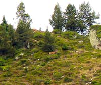 Observing stags in the autumn in the french Pyrénées