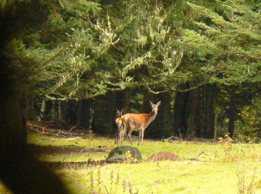 Observing deers in the autumn in the french Pyrénées