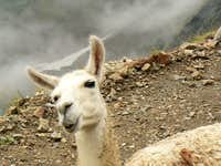 Let\'s say they are not typical animals of the french Pyrénées but we observed them here !!