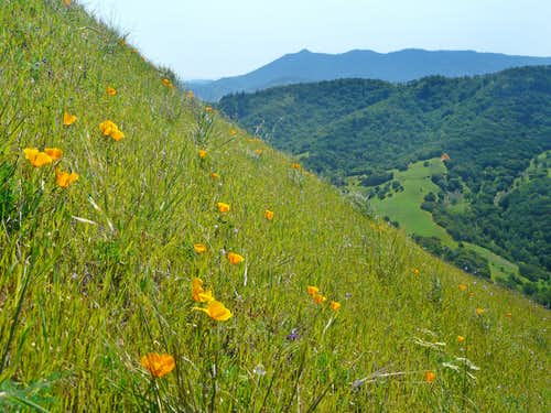 Poppies and Mt. Tam from Big Rock Ridge