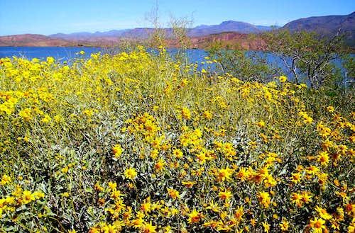 Brittle Bush Blooms Near A Full Lake