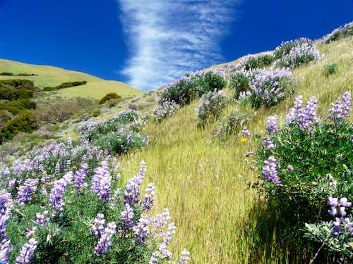 Lupine field on Black Mtn.