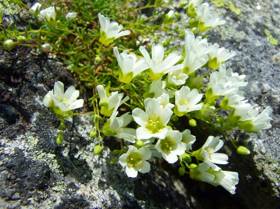 Alpine Sandwort | fizzynotions