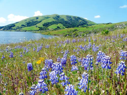 Lupine and Black Mtn.