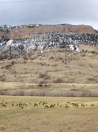 Elk below Sheep Mountain