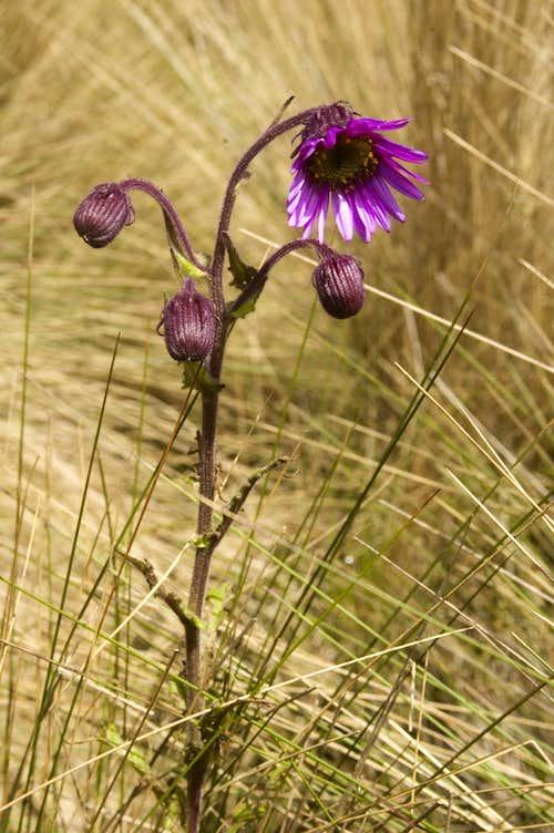 Paramo wildflower