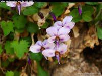Viola pachyrrhiza, Zagros mountains Iran