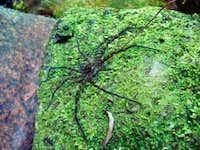 Victoria Peak - Spider
