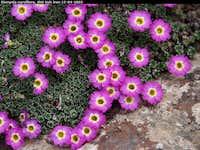 Dionysia curviflora, Shir Kuh Iran