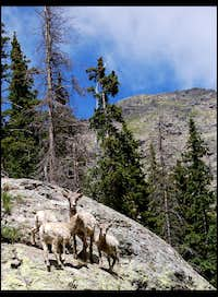 Goats on a Rock