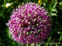 Allium stipitatum, Zagros mountains Iran