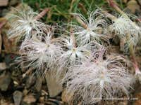 Dianthus sp, Iran