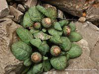Aegopordon berardioides, Iran