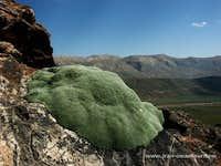 Gypsophila aretioides, northern Iran