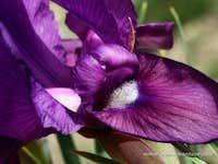 Iris sp, northern Iran