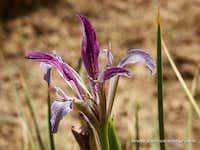 Iris sp, near ShareKord Iran