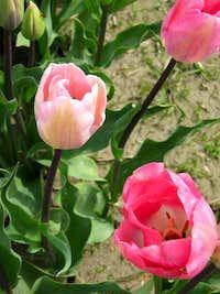 Pink Tulips-Mount Vernon Washington in April 2009