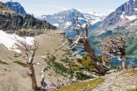 Whitebark Pines, Mount Helen