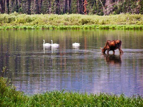 Trumpeter Swans & Moose