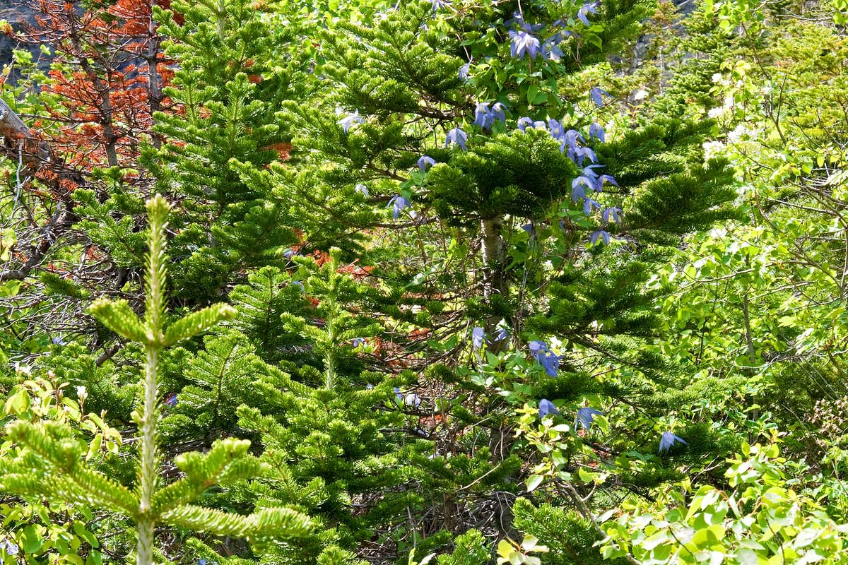 Tree With Blue Flowers Photos Diagrams Topos Summitpost