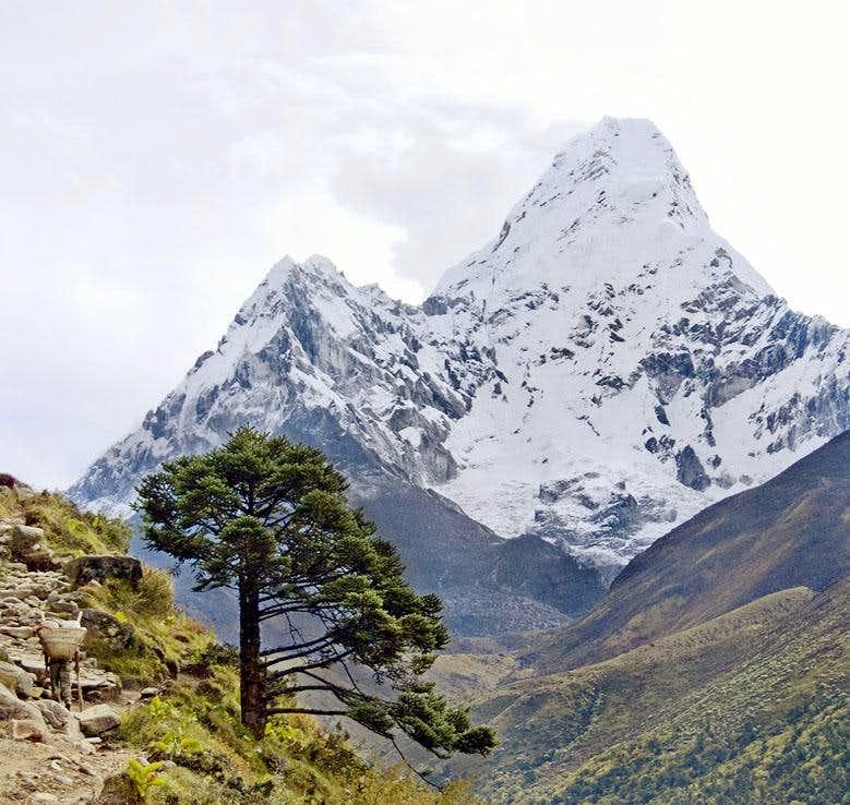 Sherpa, Tree and Ama Dablam