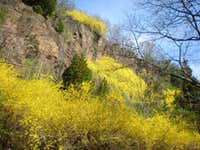 Forsythia Wall