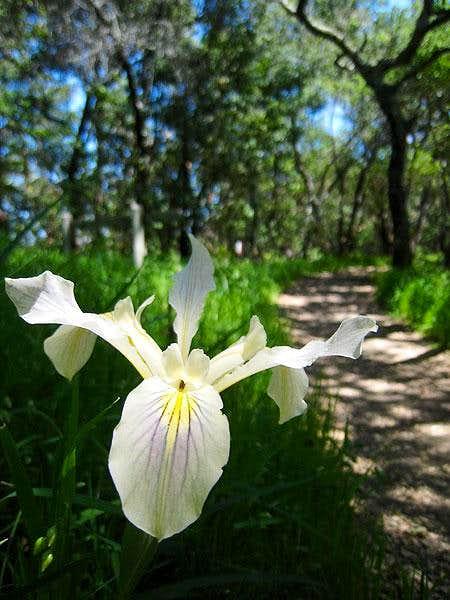 Douglas iris (Iris douglasiana)