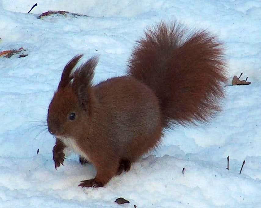 Squirrel in winter in the Sudetes