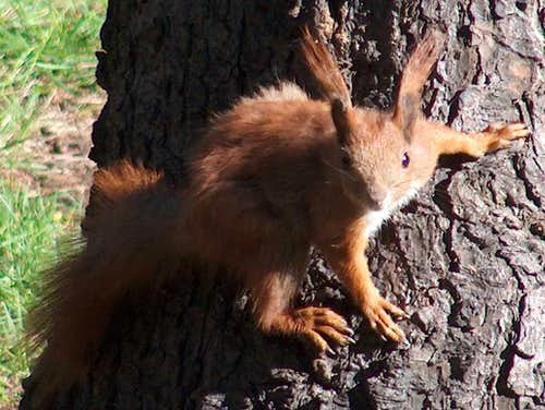 Squirrel in the Sudetes